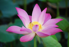 Lotus flower and Lotus flower plants Stock Image