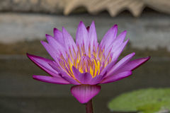 Lotus flower and Lotus flower plants. In the temple Stock Photos