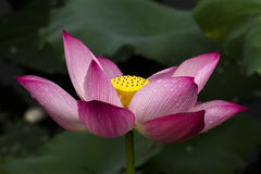 Lotus flower and Lotus flower plants Royalty Free Stock Image