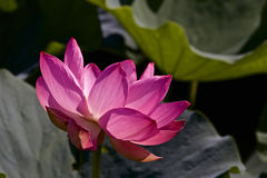 Lotus flower and Lotus flower plants Royalty Free Stock Photography