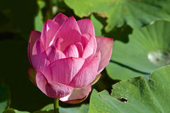 Lotus flower and Lotus flower plants Stock Images