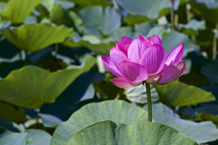 Lotus flower and Lotus flower plants Royalty Free Stock Photos