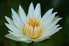 Lotus flower. Lotus, flower, white flower, water lily, blooming, close up, garden, nature, agriculture, background stock images