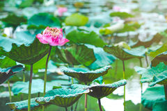 Lotus flower and lotus leaf Stock Photos