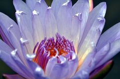A Lotus Flower Macro. A close-up, macro shot of a lotus flower taken at the Botanic Gardens of Singapore Royalty Free Stock Images