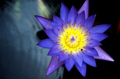 Lotus Flower Macro Stock Image