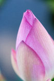 Lotus flower in macro Stock Photography