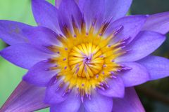 Lotus Flower Macro púrpura Fotos de archivo libres de regalías