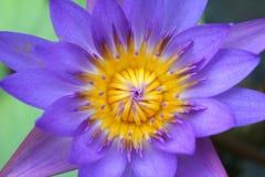 Lotus Flower Macro porpora Fotografie Stock Libere da Diritti