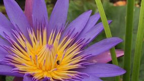 Lotus flower in marsh with flying bees find nectar stock video
