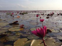 Lotus flower. Lotus marsh in Ta-Lay-Noi Phattalung,Thailand Royalty Free Stock Image
