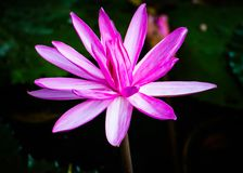 Lotus Flower mit der Biene stockfotografie