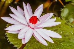 Lotus Flower mit der Biene lizenzfreie stockfotografie