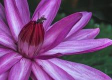 Lotus Flower mit der Biene lizenzfreies stockfoto