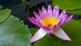 Lotus. Flower morning pink nice lifestyle Stock Photo