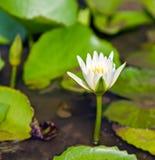 Lotus flower natural background. Lotus leaf, Lily Pad Lotus Pad - Visakha Bucha Day. Buddha's birth lotus flower meditation relax concept Vesak day royalty free stock image