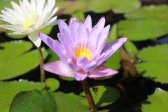 Lotus. Flower nature landscapes ground nlotus Royalty Free Stock Photos