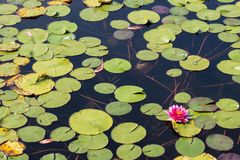 Lotus Flower nel buddismo Fotografie Stock