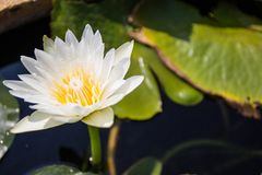 Lotus Flower nel buddismo Immagini Stock Libere da Diritti
