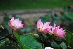 Lotus Flower. Nelumbo nucifera, also known as China lotus, Yangtze lotus, Chang Jiang lotus, Pearl Jiang lotus, Taiwan lotus, Japan lotus, Thailand lotus stock photo