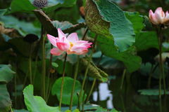 Lotus Flower. Nelumbo nucifera, also known as China lotus, Yangtze lotus, Chang Jiang lotus, Pearl Jiang lotus, Taiwan lotus, Japan lotus, Thailand lotus Stock Images