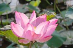 Lotus flower. Nelumbo nucifera Royalty Free Stock Image
