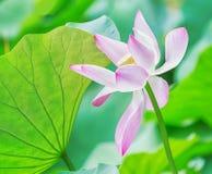 Lotus flower, Nelumbo nucifera. Royalty Free Stock Photography