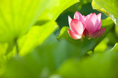 Lotus flower with nice back ground green Stock Images