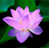 Lotus, Flower, Nymphaea Caerulea Royalty Free Stock Images