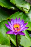 Lotus flower. Nymphaea Cyanea is a synonym of Nymphaea nouchali and often know by its synonym Nymphaea stellata,or by common names blue lotus,star lotus,blue Stock Photography
