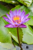 Lotus flower. Nymphaea Cyanea is a synonym of Nymphaea nouchali and often know by its synonym Nymphaea stellata,or by common names blue lotus,star lotus,blue Royalty Free Stock Photos