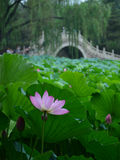 Lotus flower. Lotus in old summer palace, Beijing Royalty Free Stock Photos