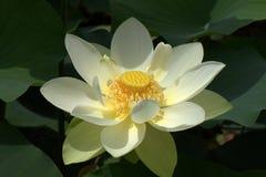 Lotus Flower. Open lotus flower at Japanese garden Stock Photos