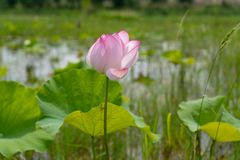 A lotus flower that is opening in a pond stock photos