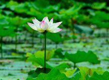 The lotus flower opens to reveal Stock Image