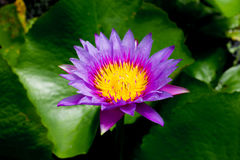 Lotus flower for opject backgrounds Royalty Free Stock Photography