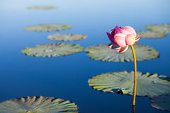 Lotus flower over blue lake. And it's floating leaves Royalty Free Stock Photos
