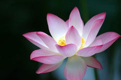 Lotus flower over dark background Royalty Free Stock Photography