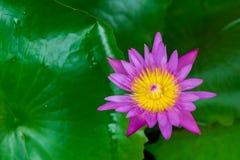 Lotus Flower púrpura y amarilla El fondo es la hoja del loto Foto de archivo libre de regalías