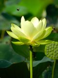 Lotus. Flower with pad and buzzing bumble bees Royalty Free Stock Photo