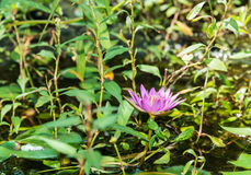 Lotus flower in a park Royalty Free Stock Image