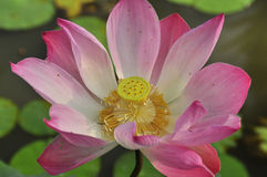Lotus flower perfect details closeup Stock Image