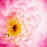 Lotus flower petals Royalty Free Stock Images