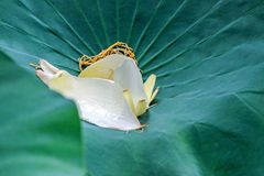 Lotus flower petals on green leaf Royalty Free Stock Images