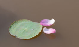 Lotus flower petals on the pond Royalty Free Stock Photos
