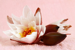 Lotus flower. Royalty Free Stock Photography
