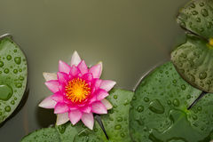 Lotus flower. Pink Lotus flower beautiful lotus Stock Image