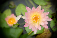 Lotus flower. Pink Lotus flower beautiful lotus Stock Photo