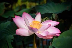 Lotus flower. Stock Images