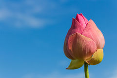 Lotus Flower. A lotus flower of pink color royalty free stock photography